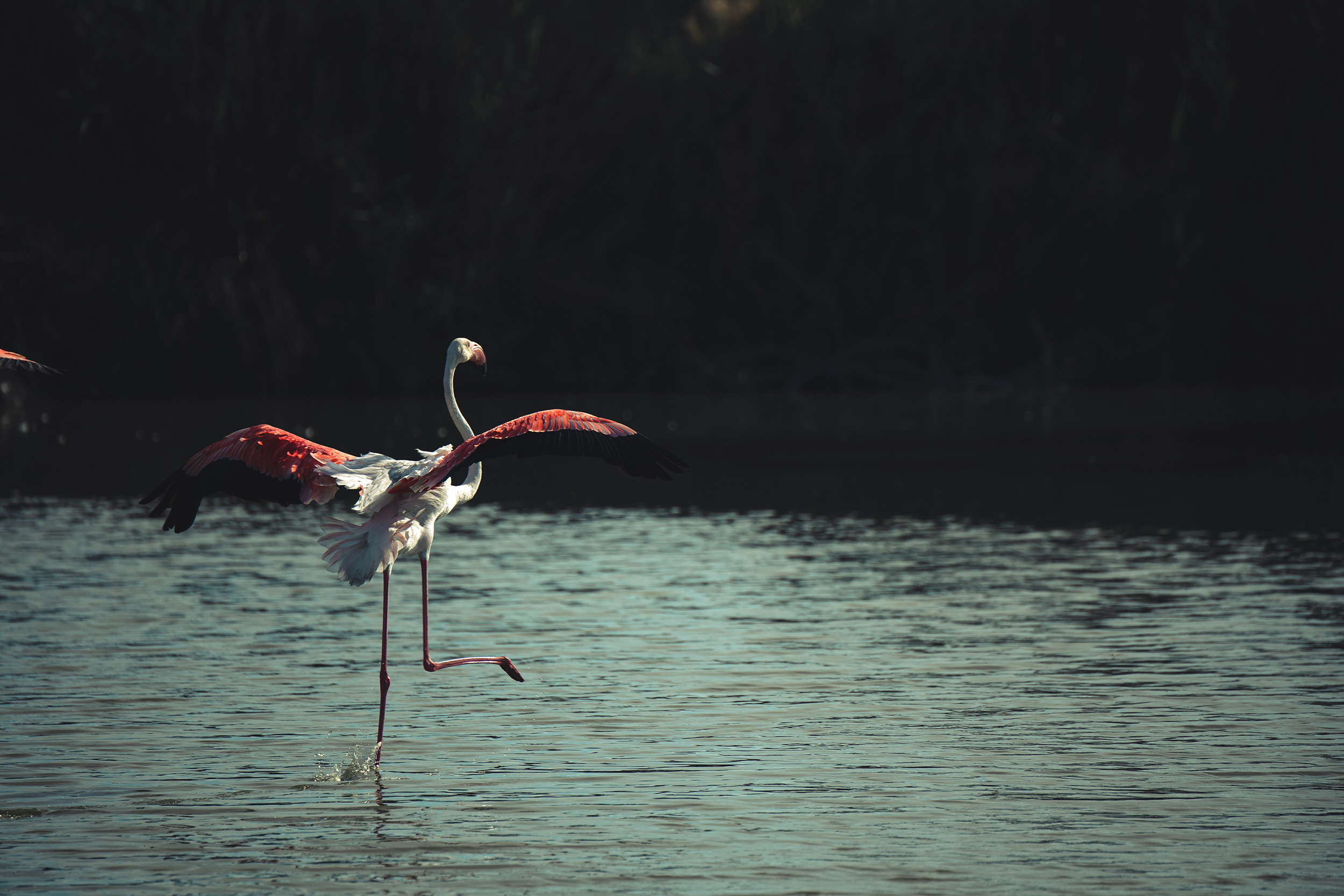 Photos de flamants roses