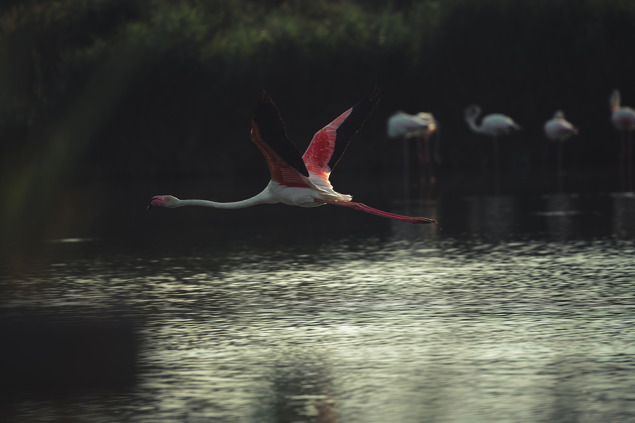 Flamant rose qui vole